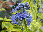 Caryopteris x clandonensis Worcestergold